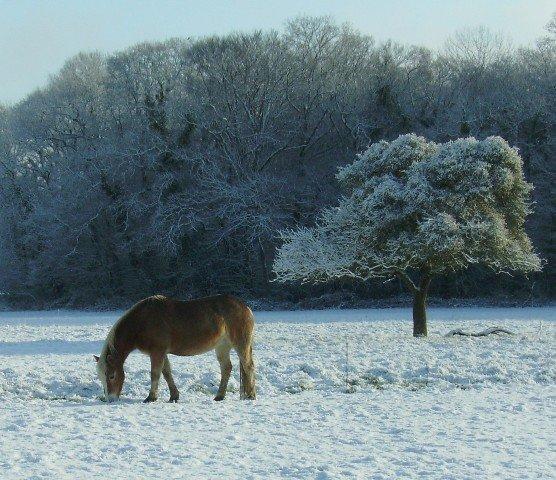 chaleur poney shetland